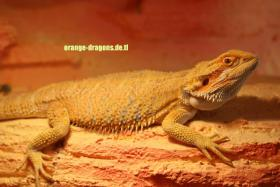BArtagame ORANGE DRAGONS Hypo Red Citrus (clear nails),
