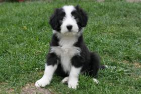 Foto 2 BEARDED COLLIE WELPEN AB SOFORT ZUR ABGABE