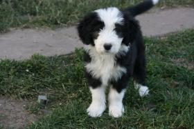 Foto 3 BEARDED COLLIE WELPEN AB SOFORT ZUR ABGABE