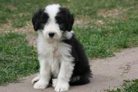 Foto 4 BEARDED COLLIE WELPEN AB SOFORT ZUR ABGABE