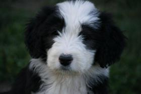 Foto 5 BEARDED COLLIE WELPEN AB SOFORT ZUR ABGABE