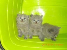 BHK Kitten