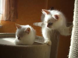 Foto 5 BKH-BLH Kitten Point