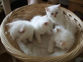 BKH-BLH Kitten Point