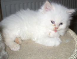 Foto 4 BKH-BLH Kitten Point