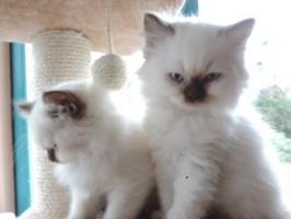 BKH/BLH - Kitten mit  Stammbaum zu verkaufen !