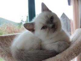 Foto 3 BKH/BLH - Kitten mit  Stammbaum zu verkaufen !