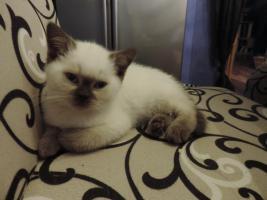 Foto 4 BKH/BLH - Kitten mit  Stammbaum zu verkaufen !