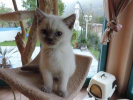 Foto 5 BKH/BLH - Kitten mit  Stammbaum zu verkaufen !