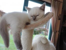 Foto 7 BKH/BLH - Kitten mit  Stammbaum zu verkaufen !