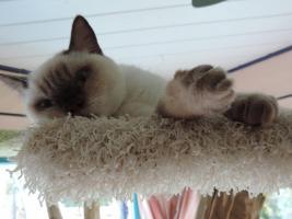 Foto 9 BKH/BLH - Kitten mit  Stammbaum zu verkaufen !