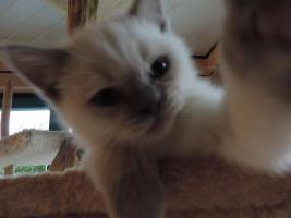 Foto 10 BKH/BLH - Kitten mit  Stammbaum zu verkaufen !