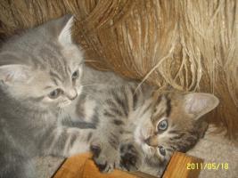 Foto 3 BKH-Babies zu verkaufen!