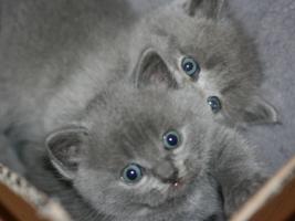 BKH-Babys in Blau, 8 Wo., mit STB, geimpft