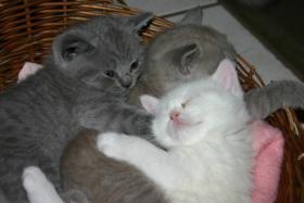 BKH Babys Lilac, Blau und Weiß mit Papieren