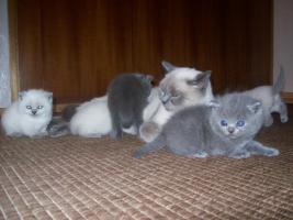 Foto 3 BKH Babys mit Papiere