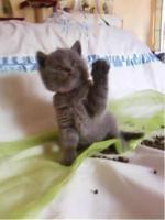 BKH Bärchen BKH Kitten Britisch Kurzhaar Kitten mit Papiere suchen neue Dosis