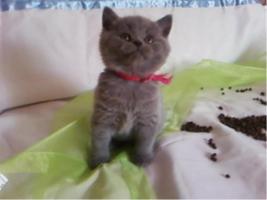 Foto 2 BKH Bärchen BKH Kitten Britisch Kurzhaar Kitten mit Papiere suchen neue Dosis