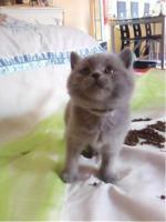 Foto 3 BKH Bärchen BKH Kitten Britisch Kurzhaar Kitten mit Papiere suchen neue Dosis