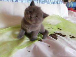 Foto 4 BKH Bärchen BKH Kitten Britisch Kurzhaar Kitten mit Papiere suchen neue Dosis