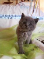 Foto 5 BKH Bärchen BKH Kitten Britisch Kurzhaar Kitten mit Papiere suchen neue Dosis