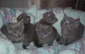 BKH Blau  2 Mänchen und 3 Weibchen