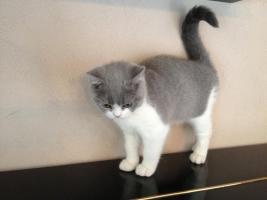 BKH Britisch Kurzhaar Katzen