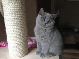 BKH Britisch Kurzhaar Katzen Blau