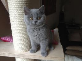Foto 2 BKH Britisch Kurzhaar Katzen Blau