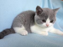 Foto 3 BKH Britisch Kurzhaar Katzen Blau