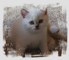 Foto 3 BKH-Colourpoint-Kitten