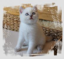 Foto 4 BKH-Colourpoint-Kitten