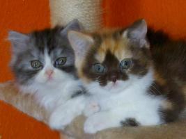 BKH/Highländer Kitten ohne Papiere !!!!