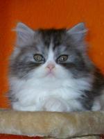 Foto 2 BKH/Highländer Kitten ohne Papiere !!!!