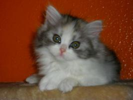 Foto 3 BKH/Highländer Kitten ohne Papiere !!!!