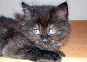 BKH-Highlander Katzenbabys ab 13.08.2012 abzugeben