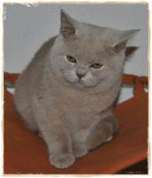 Foto 6 BKH KItten cinnamon, fawn