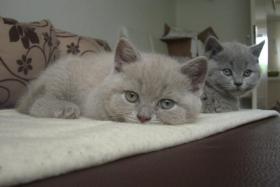 Foto 2 BKH-Kätzchen