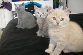 BKH-Kätzchen
