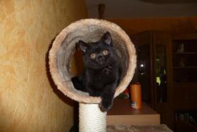 BKH Kätzchen in der Farbe schwarz