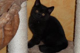 Foto 2 BKH Kätzchen in der Farbe schwarz