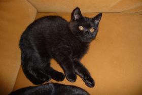 Foto 4 BKH Kätzchen in der Farbe schwarz