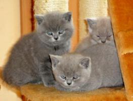 BKH Kätzchen * British Kurzhaar Kitten - KARTÄUSER mit