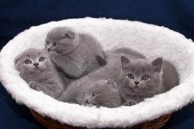 BKH Kätzchen, blau
