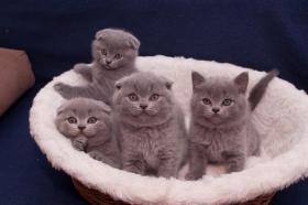 Foto 2 BKH Kätzchen, blau