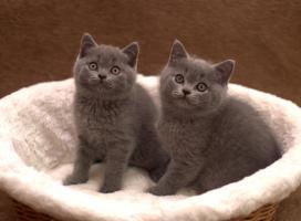 Foto 3 BKH Kätzchen, blau