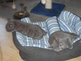 Foto 3 BKH-Kartäuser-Kätzchen