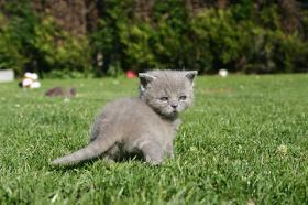 BKH/Kartäuser Kitten