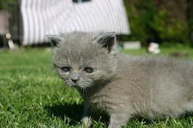 Foto 2 BKH/Kart�user Kitten