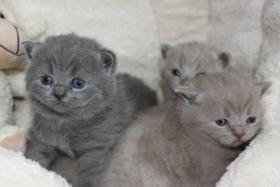 BKH/Kartäuser Kitten in blau und lilac